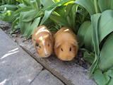 Грызуны Морские свинки, цена 400 Грн., Фото
