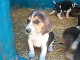 Собаки, щенки Эстонская гончая, цена 3000 Грн., Фото