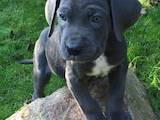 Собаки, щенята Кане Корсо, ціна 7100 Грн., Фото