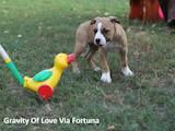 Собаки, щенята Американський стаффордширський тер'єр, ціна 7000 Грн., Фото