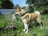 Собаки, щенята Західно-Сибірська лайка, ціна 100 Грн., Фото