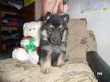 Собаки, щенки Немецкая овчарка, цена 1500 Грн., Фото