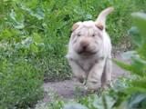 Собаки, щенки Шарпей, цена 4500 Грн., Фото