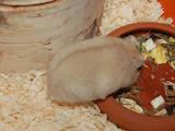 Грызуны Хомяки, цена 35 Грн., Фото