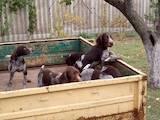 Собаки, щенята Німецька жорсткошерста лягава, ціна 1000 Грн., Фото