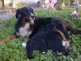 Собаки, щенки Большой Швейцарский зенненхунд, цена 3700 Грн., Фото