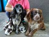 Собаки, щенята Російський спаніель, ціна 1300 Грн., Фото