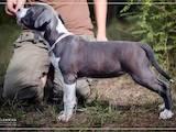 Собаки, щенки Американский стаффордширский терьер, цена 23000 Грн., Фото