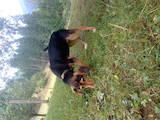 Собаки, щенята Естонський гончак, ціна 600 Грн., Фото