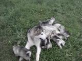 Собаки, щенки Аляскинский маламут, цена 3500 Грн., Фото