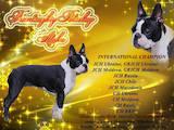 Собаки, щенки Бостонтерьер, цена 50000 Грн., Фото