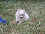 Собаки, щенята Померанський шпіц, ціна 5700 Грн., Фото