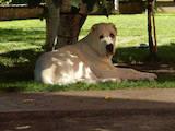 Собаки, щенки Среднеазиатская овчарка, цена 13250 Грн., Фото