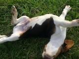 Собаки, щенята Естонський гончак, ціна 800 Грн., Фото