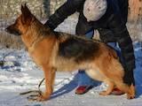Собаки, щенки Немецкая овчарка, цена 18000 Грн., Фото