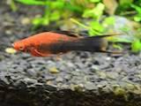 Рыбки, аквариумы Рыбки, цена 13 Грн., Фото