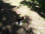 Собаки, щенки Бигль, цена 5000 Грн., Фото