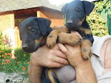 Собаки, щенки Ягдтерьер, цена 6000 Грн., Фото