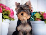Собаки, щенята Йоркширський тер'єр, ціна 26000 Грн., Фото
