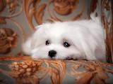 Собаки, щенята Мальтійська болонка, ціна 75000 Грн., Фото