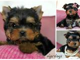 Собаки, щенки Йоркширский терьер, цена 3000 Грн., Фото