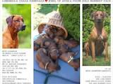Собаки, щенята Родезійського ріджбек, ціна 18500 Грн., Фото