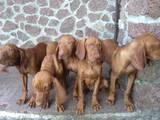 Собаки, щенки Венгерская выжла, цена 4800 Грн., Фото