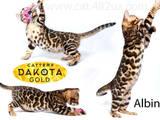 Кішки, кошенята Бенгальськая, ціна 30000 Грн., Фото