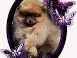 Собаки, щенята Померанський шпіц, ціна 10000 Грн., Фото