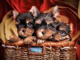 Собаки, щенки Йоркширский терьер, цена 13000 Грн., Фото