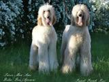 Собаки, щенята Афганська хортиця, ціна 40000 Грн., Фото