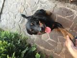 Собаки, щенята Босерон, ціна 250 Грн., Фото