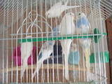 Попугаи и птицы Попугаи, цена 150 Грн., Фото