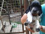 Собаки, щенки Русский спаниель, цена 1500 Грн., Фото