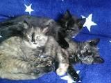 Кішки, кошенята Безпорідна, ціна 20 Грн., Фото
