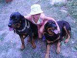 Собаки, щенки Ротвейлер, цена 3900 Грн., Фото