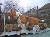 Собаки, щенки Бигль, цена 10000 Грн., Фото