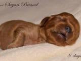 Собаки, щенки Кавалер-Кинг-Чарльз спаниель, цена 40000 Грн., Фото