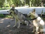 Собаки, щенята Сибірський хаськи, ціна 4200 Грн., Фото