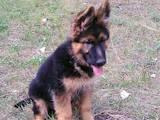 Собаки, щенки Немецкая овчарка, цена 7000 Грн., Фото