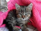 Кошки, котята Американская короткошерстная, Фото