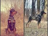 Собаки, щенки Доберман, цена 3000 Грн., Фото