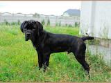 Собаки, щенки Кане Корсо, цена 32000 Грн., Фото
