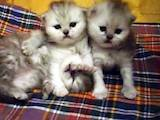 Кошки, котята Персидская, цена 2300 Грн., Фото