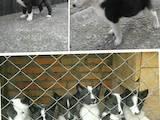 Собаки, щенки Русско-Европейская лайка, Фото
