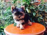 Собаки, щенята Йоркширський тер'єр, ціна 4700 Грн., Фото