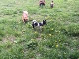 Собаки, щенки Чихуа-хуа, цена 8000 Грн., Фото