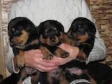 Собаки, щенята Ротвейлер, ціна 2600 Грн., Фото