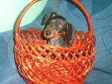 Собаки, щенята Карликовий пінчер, ціна 6000 Грн., Фото