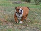 Собаки, щенки Английский бульдог, цена 13000 Грн., Фото